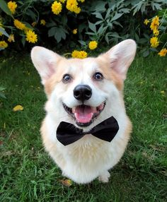 Corgi-Scamp Representing on National Bow-Tie Day!!