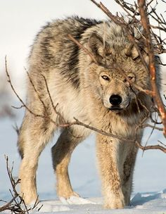 """maybe the Wolf is trying to Hide Like Maybe it is Saying """"Do You see Me Now""""? and the other Wolves are Like """"Yes, We totally can See You, now lets go Hunt""""! Wolf Photos, Wolf Pictures, Beautiful Creatures, Animals Beautiful, Cute Animals, Wolf Spirit, Spirit Animal, Tier Wolf, Wolf Hybrid"""