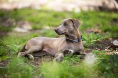 The Blue Lacy, the official breed of Texas since 2005. #bluelacy #texasstatebreed #texasdog