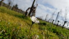 Chateau Lamartine Fevrier 2020 @Chrisfortin Dandelion, Flowers, Plants, Garden, Garten, Dandelions, Planters, Royal Icing Flowers, Gardening
