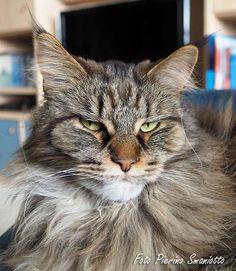 Wat is een maine coon kat