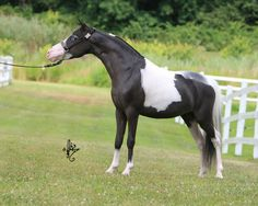 miniature horses | ... Monty Henderson of Bluegables Miniature Horse Stud in New Zealand