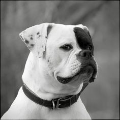 I Want to Portrait ....black and white boxer.