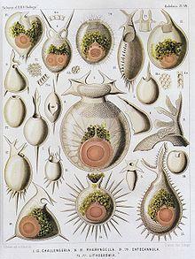 Ernst Haeckel y los radiolarios