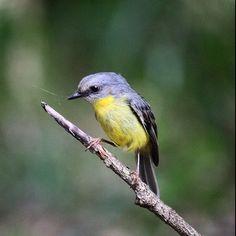 Eastern Yellow Robin. Photo by @birdloser