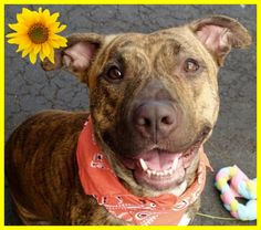SAFE  8-10-2015 by  All Breed Rescue Vermont --- Manhattan Center JOONMARIE – A1045894  FEMALE, BR BRINDLE, PIT BULL MIX, 1 yr, 1 mo STRAY – STRAY WAIT, NO HOLD Reason STRAY Intake condition UNH&UNTREA Intake Date 07/30/2015 http://nycdogs.urgentpodr.org/joonmarie-a1045894/