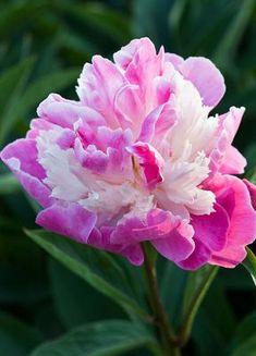 Peony (Paeonia lactiflora) 'Mr. Ed'