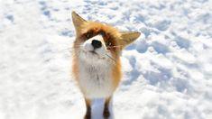 animals foxes snow