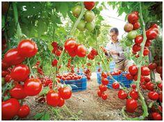 El tomate: fuente de salud