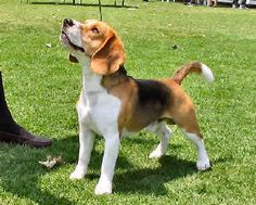 The Hound Dog is renowned for its ability as a hunting dog, having incredible stamina and focus!