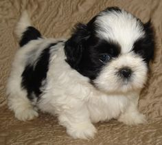 Adorable Shih Tzu Puppies. For more cute puppies, check out our youtube channel: https://www.youtube.com/channel/UCH7efODYtEdnWfAm1eS4NMA