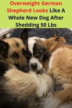 Achieving your health goals is never an easy thing to do. For an overweight German Shepherd named Tony, things weren't looking very optimistic. Luckily for him, a man named Lee Asher adopted Tony to his new family where things were about to get a little bit more active for the hefty doggy.