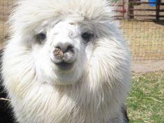 alpaca cuteness