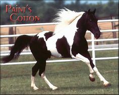Black And White Paint Horses   ... HORSES ] [ MISSION STATEMENT ] [ LIBRARY OF GREAT HORSE BOOKS