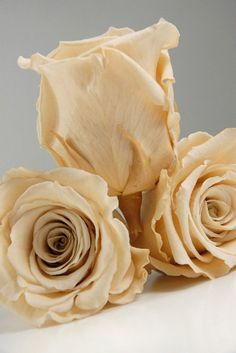 Items similar to Custom Order Preserved Natural Roses Roses for Bouquet, Rose Bouquet, Preserved Rose Bouquet Simply Beautiful ! How To Preserve Flowers, Preserving Flowers, Making A Bouquet, Save On Crafts, Preserved Roses, Shades Of Beige, Wood Flowers, Champagne Color, Rose Bouquet