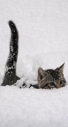 Do your cats like the snow? Some cats hate the snow but other cats have a lot of fun outside in the snow. These cats seem to be having a good time of it. cute cat and kittens Pretty Cats, Beautiful Cats, Animals Beautiful, Cute Baby Animals, Animals And Pets, Funny Animals, Animals In Snow, Funny Cats, Cute Kittens