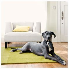 They are gorgeous but HUGE ( Great Dane).