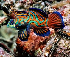 *MANDARIN FISH