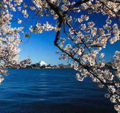 Cherry Blossoms in Washington