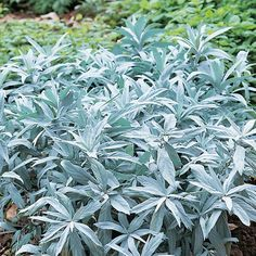 Hopeamaruna Silver Plant, Annual Plants, Container Gardening, Perennials, Different Colors, Outdoor Gardens, Home And Garden, Spring, Garden Ideas