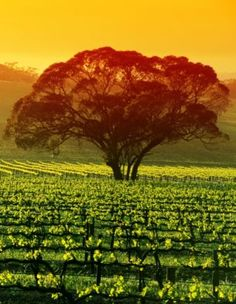 Vineyard in the Barossa Valley South Australia