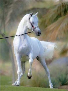 . Arabian horses