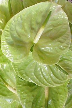 l sagacious green l
