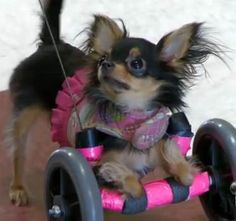 Tiny disabled dog is BIG inspiration for nursing home seniors...