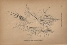 Antique Bird print Dove Calligraphy Ornamental Penmanship Pen Flourishing - Love Bird for Valentine
