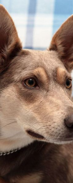 Australian Kelpie Dog Omg Konner its molly All Dogs, I Love Dogs, Puppy Love, Dogs And Puppies, Doggies, Australian Animals, Mundo Animal, Australian Shepherd, Beautiful Dogs
