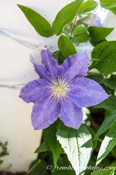 15 Of The Best Easy Care Perennials With Beautiful Blue Flowers - Gardening @ From House To Home Ice blue Clematis has large beautiful flowers that will light up your garden design. Click through for more perennials to use in your garden landscaping. Part Shade Perennials, Shade Plants, Sun Perennials, Hydrangea Not Blooming, Blooming Plants, Flowering Plants, Beautiful Gardens, Beautiful Flowers, Beautiful Pictures