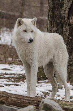 beautiful-wildlife: Standing WolfbyGeeLeesa Productions