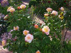 "Rose ""Aquarell"" - Bilder und Fotos"