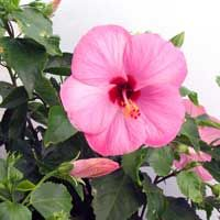 These are my all time favorite flower! I would love to take pictures of all the beautiful Hawaiian tropical flowers#Hibiscus #Hawaii #pinhawaii