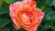 أجمل أنواع الورد الجوري Beautiful Moon Flowers Rose