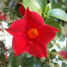 Fotos de flores Dipladênias