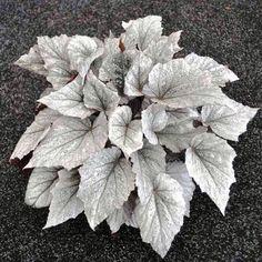 Big Bad Flower - Begonia Rex, Shadow King� Cool White, $15.99 (http://www.bigbadflower.com/indoor-plants/begonia-rex-shadow-king-cool-white/)