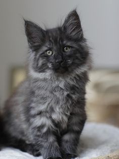 black smoke cats - Yahoo Image Search Results