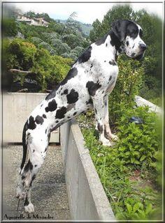 """Hey, go home!"" #dogs #pets #HarlequinGreatDanes Facebook.com/sodoggonefunny"