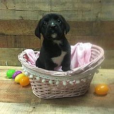 Fort Wayne, Indiana - Boxer. Meet Bunnie, a for adoption. https://www.adoptapet.com/pet/21407584-fort-wayne-indiana-boxer-mix