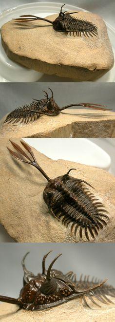 What Trilobites look like in full antennae.