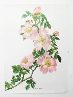 Items similar to Pink roses botanical art, 1962 French Vintage Vintage rose poster dog rose hip rose watercolor art Pink roses art rose art Botanical poster on Etsy Rose Illustration, Vintage Botanical Prints, Botanical Art, Vintage Botanical Illustration, Botanical Flowers, Wildrose Tattoo, Roses Pink, Pink Flowers, Plant Drawing