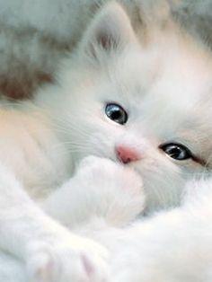 Pure White Persian Kitten