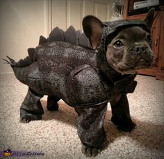 Cassie: Zeus is a 4 month old French Bulldog. We thought his lil smooched face and large ears would make a great stegosaurus. We had to modify the headpiece to accommodate. French Bulldog Costume, Cute French Bulldog, French Bulldog Puppies, Cute Dogs And Puppies, Baby Dogs, French Bulldog Halloween Costumes, Doggies, Teacup French Bulldogs, French Bulldog Clothes