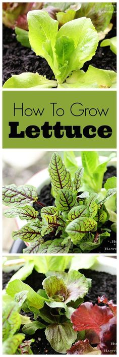 Tips on growing lettuce. In a container or in the ground, it's always an easy and yummy vegetable to grow yourself!