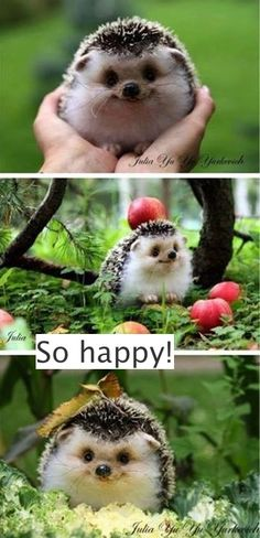 "The Happiest Hedgehog cute animals adorable animal pets baby animals hedgehog fu. - The Happiest Hedgehog cute animals adorable animal pets baby animals hedgehog funny animals: "" Th - Cute Funny Animals, Cute Baby Animals, Funny Cute, Animals And Pets, Animals Photos, Funny Pictures Of Animals, Cute Pets, Smiling Animals, Cut Animals"