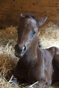 Black Caviar as a Foal | Horse-Canada.com | Your Horse Source
