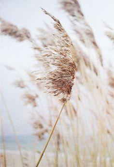 Stalks of golden grain sway like woven tassels against the pale blue sky.