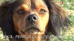 Spaniels Bretón.    De Abel K-3 www.spanielcompany.es
