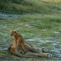 """Lion Cub:  """"Dad!  What time do you plan on waking up?!"""""""